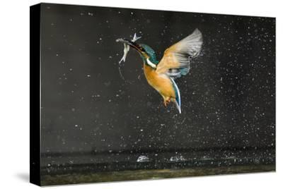 Kingfisher (Alcedo Atthis) in Flight Carrying Fish, Balatonfuzfo, Hungary, January 2009