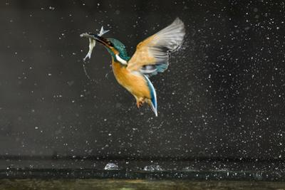 Kingfisher (Alcedo Atthis) in Flight Carrying Fish, Balatonfuzfo, Hungary, January 2009