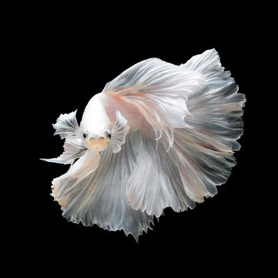 Close up of White Platinum Betta Fish or Siamese Fighting Fish in Movement Isolated on Black Backgr