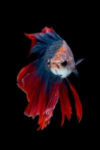 Colourful Betta Fish,Siamese Fighting Fish in Movement Isolated on Black Background. by Nuamfolio