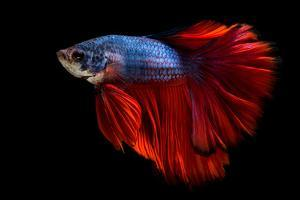 Colourful Betta Fish,Siamese Fighting Fish in Movement Isolated on Black Background by Nuamfolio