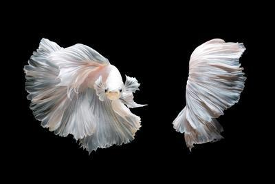 White Platinum Betta Fish or Siamese Fighting Fish in Movement Isolated on Black Background