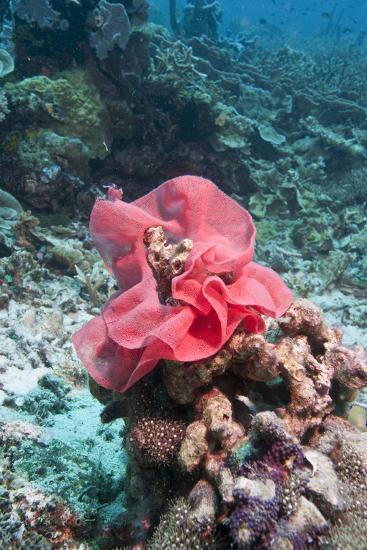 Nudibranch Eggs, Komodo, Indonesia, Southeast Asia, Asia-Lisa Collins-Photographic Print