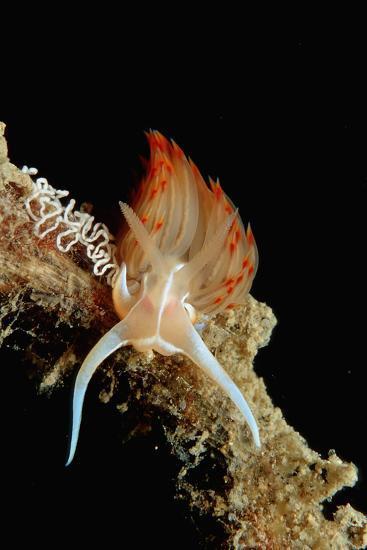 Nudibranch Laying Eggs (Godiva Banyulensis), Mediterranean Sea.-Reinhard Dirscherl-Photographic Print