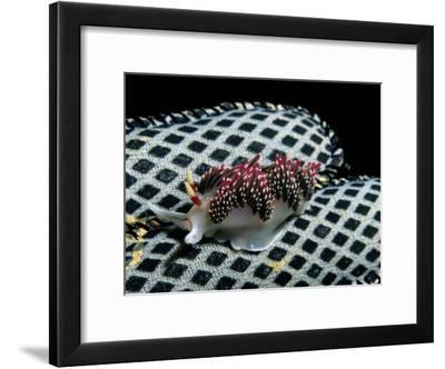 Nudibranch on a Patterned Shell-Wolcott Henry-Framed Photographic Print