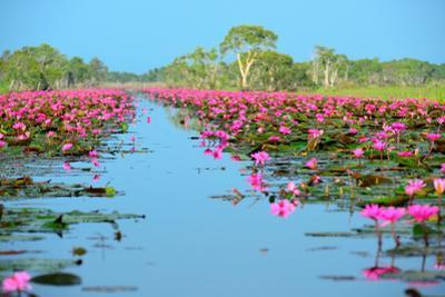 Group of Beautiful Blossom Lotus