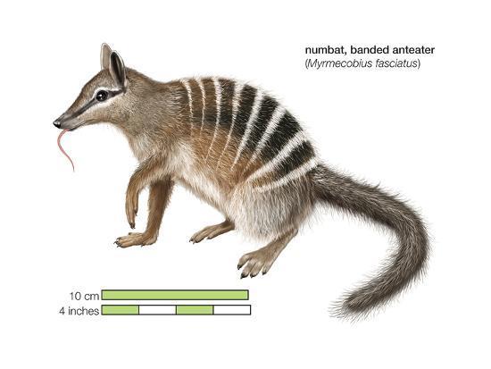 Numbat (Myrmecobius Fasciatus), Banded Anteater, Marsupial, Mammals-Encyclopaedia Britannica-Art Print