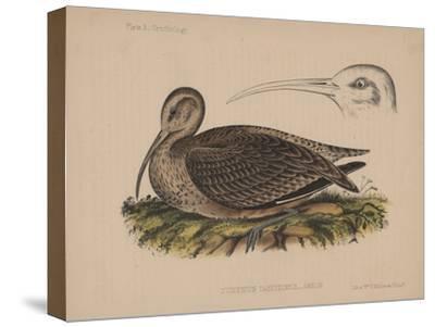 Numenius Tahitiensis (Gmelin), 1855