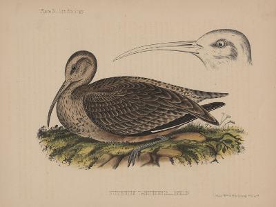 Numenius Tahitiensis (Gmelin), 1855--Giclee Print
