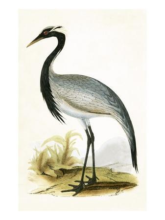 Numidian Crane,  from 'A History of the Birds of Europe Not Observed in the British Isles'-English-Premium Giclee Print