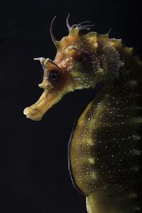 Long Snouted Seahorse (Hippocampus Guttulatus) by Nuno Sa