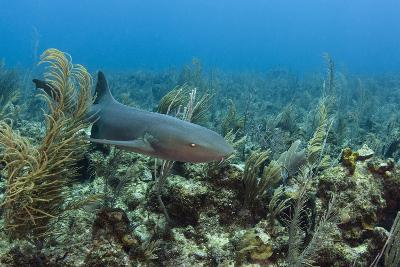 Nurse Shark, Hol Chan Marine Reserve, Belize-Pete Oxford-Photographic Print