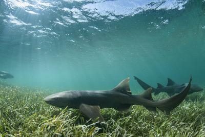 Nurse Shark, Marine Megafauna Research. Maralliance, Half Moon Caye, Lighthouse Reef, Atoll, Belize-Pete Oxford-Photographic Print