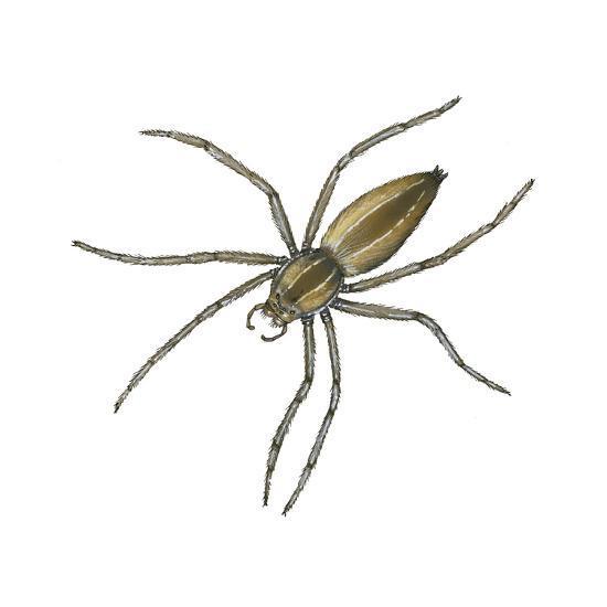 Nursery Web Spider (Pisaurina Mira), Arachnids-Encyclopaedia Britannica-Art Print