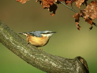 Nuthatch, Sitta Europaea Perched on Log in Autumn UK-Mark Hamblin-Photographic Print