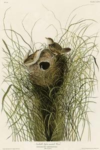 Nuttall's Lesser-Marsh Wren