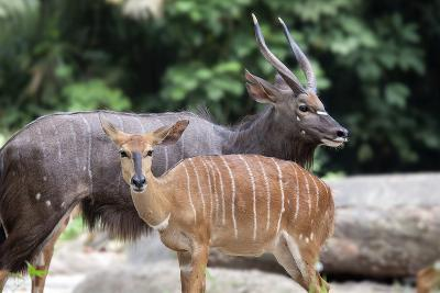 Nyala Male and Female Pair-jpldesigns-Photographic Print
