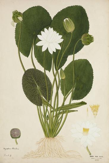 Nymphaea Lotus Linn, 1800-10--Giclee Print