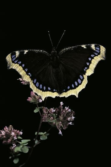 Nymphalis Antiopa (Mourning Cloak Butterfly, Camberwell Beauty)-Paul Starosta-Photographic Print