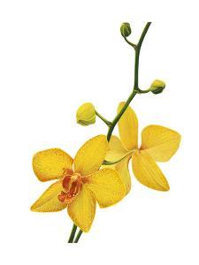 Budding Orchid by Nyoman Sudarsa