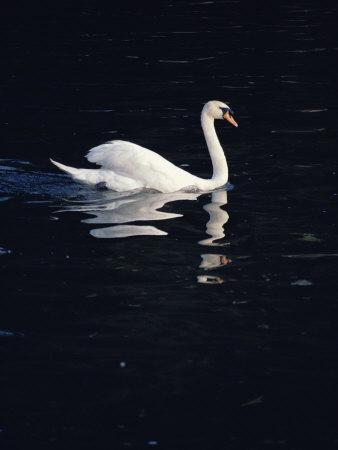 A Graceful Mute Swan Glides Across the Dark Waters of the Thames