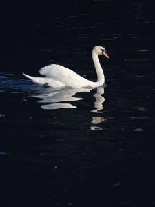 A Graceful Mute Swan Glides Across the Dark Waters of the Thames by O. Louis Mazzatenta