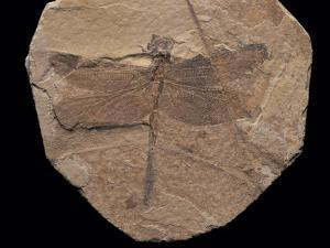 Dragonfly Fossil Discovered at Sihetun, China by O. Louis Mazzatenta