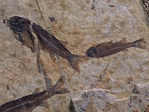 Fish Fossils Found at Sihetun, Liaoning Province, China by O. Louis Mazzatenta
