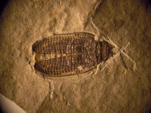 Fossil Beetle Found at Sihetun, China by O. Louis Mazzatenta