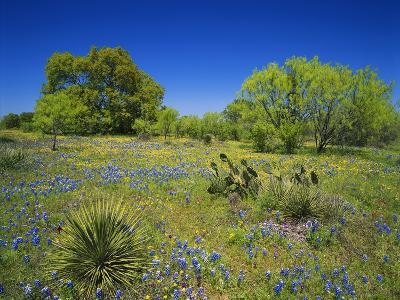 Oak and Mesquite Tree with Bluebonnets, Low Bladderpod, Texas Hill Country, Texas, USA-Adam Jones-Photographic Print