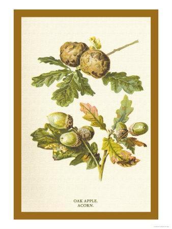https://imgc.artprintimages.com/img/print/oak-apple-acorn_u-l-p27vrx0.jpg?p=0