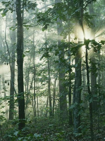 Oak Forest in morning fog, Mark Twain National Forest, Missouri, USA-Charles Gurche-Photographic Print