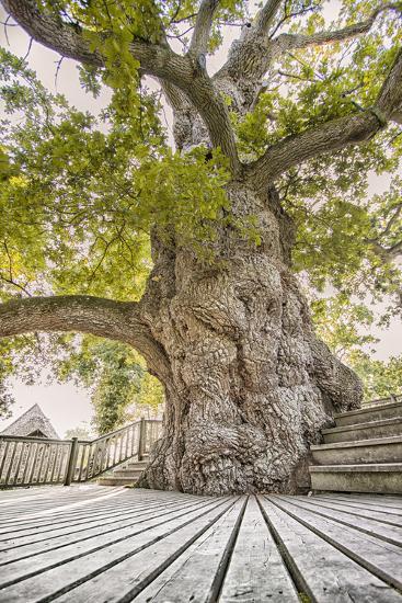 Oak Guillotin-Viviane Fedieu Daniel-Photographic Print