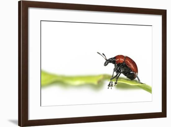 Oak Leaf Roller Beetle (Attelabus Nitens) Rolling Leaf, Gohrde, Germany, May. (Sequence 1-7)-Solvin Zankl-Framed Photographic Print