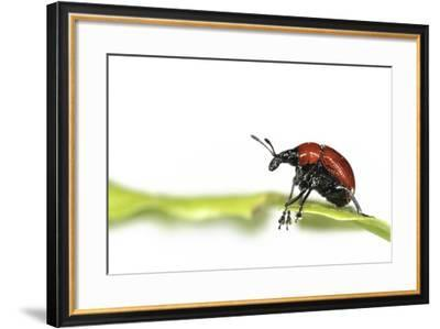 Oak Leaf Roller Beetle (Attelabus Nitens) Rolling Leaf, Gohrde, Germany, May. (Sequence 1-7)-Solvin Zankl-Framed Photographic Print
