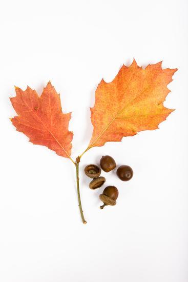 Oak Leaves and Acorns-Frank Lukasseck-Photographic Print