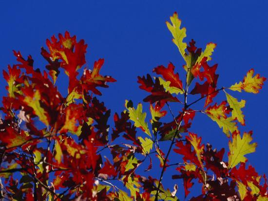 Oak Leaves in Fall Colors Against a Bright Blue Sky-Raymond Gehman-Photographic Print