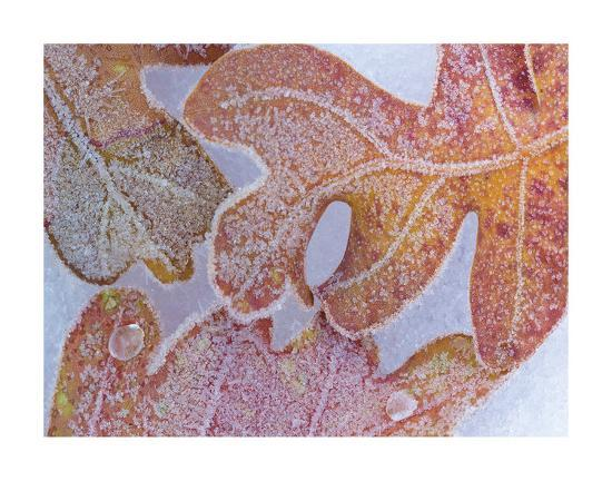 Oak Leaves Rimmed in Frost I-Don Paulson-Giclee Print