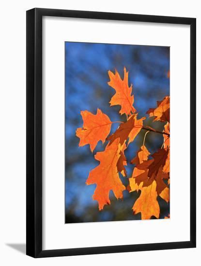 Oak Leaves-jennyt-Framed Photographic Print