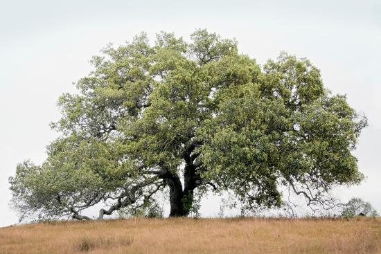 Oak Tree #72-Alan Blaustein-Photographic Print