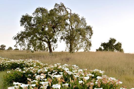 Oak Tree #94-Alan Blaustein-Photographic Print
