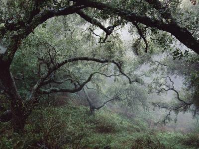 Oak Tree Forest after Storm-Douglas Steakley-Photographic Print