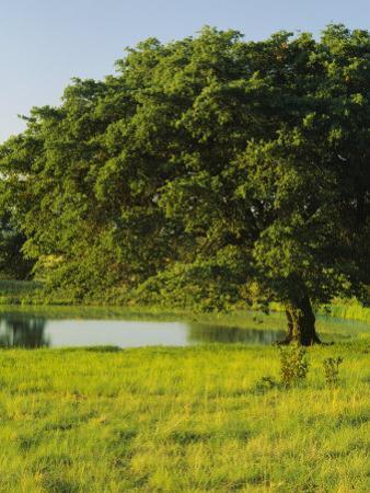 Oak Tree in a Field, Tucson, San Rafael Valley, Santa Cruz County, Arizona, USA