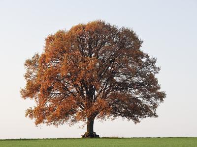 Oak Tree in Autumn-Frank Lukasseck-Photographic Print