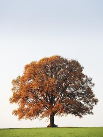 Oak Tree in Meadow-Frank Lukasseck-Photographic Print