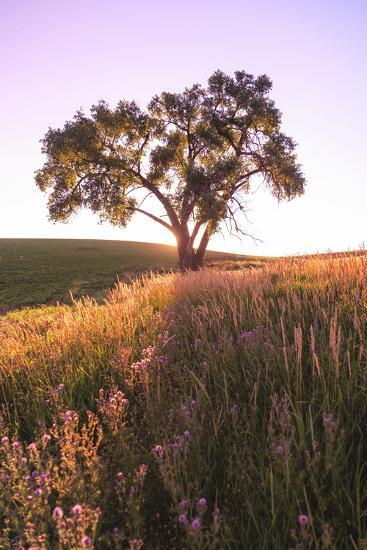 Oak Tree Near Field of Oxeye Daisies and Wheat, Palouse, Washington-Stuart Westmorland-Photographic Print