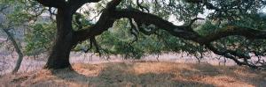 Oak Tree on a Field, Sonoma County, California, USA