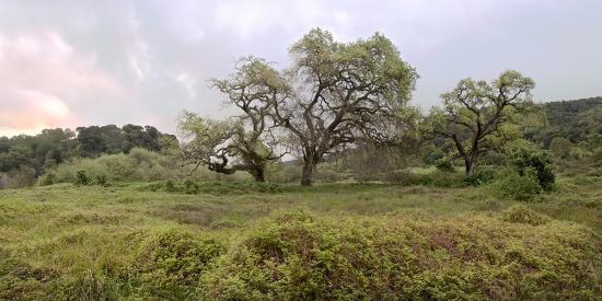 Oak Tree Pano #133-Alan Blaustein-Photographic Print