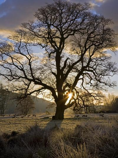 Oak Tree (Quercus Sp.) In Winter-Dr. Keith Wheeler-Photographic Print