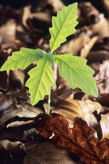 Oak Tree (Quercus Sp.) Seedling-David Aubrey-Photographic Print